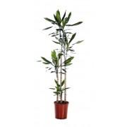 Dracaena steudneri 5 tulpini 35/220 cm