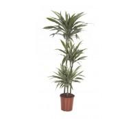 Dracaena warneckii 3 tulpini 24/150 cm