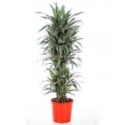 Dracaena warneckii ramificata 34/190 cm