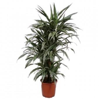 Dracaena warneckii ramificata 27/120 cm