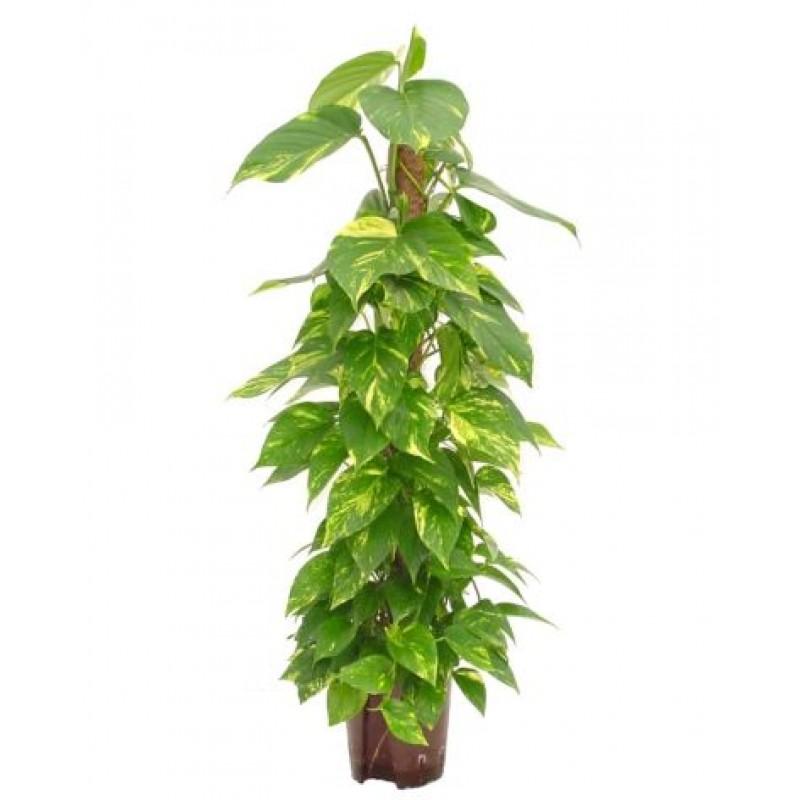 Epipremnum 24 125 cm for Plante x ragnarok