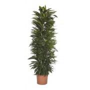 Ficus amstel grila 35/200 cm