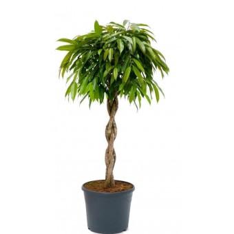 Ficus amstel impletit 40/170 cm