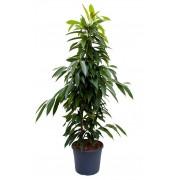 Ficus amstel piramidal 27/150 cm