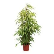 Ficus amstel piramidal 27/170