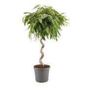 Ficus amstel impletit spiral 33/140 cm