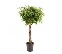 Ficus benjamina impletit 33/140 cm