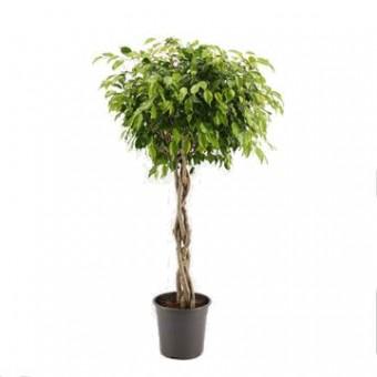 Ficus benjamina impletit 40/170 cm