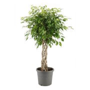 Ficus benjamina impletit koker 40/170 cm