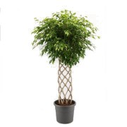 Ficus benjamina impletit matje 40/170 cm