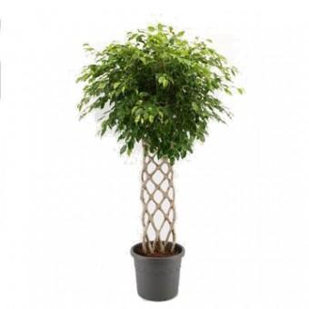 Ficus benjamina impletit matje 33/140 cm