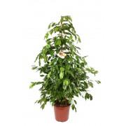 Ficus benjamina piramidal 27/150 cm