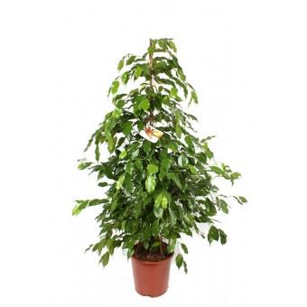 Ficus benjamina piramidal 24/120 cm