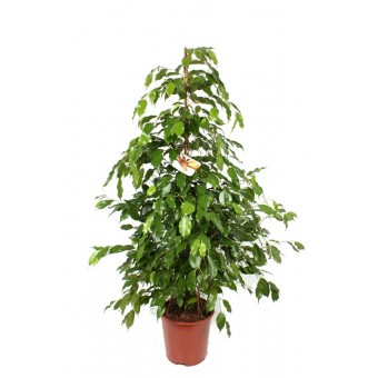 Inchiriere termen scurt planta Ficus benjamina piramidal 150 cm (pentru evenimente)