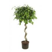Ficus benjamina impletit spiral 40/170 cm