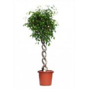Ficus benjamina impletit spirala dubla 33/140 cm