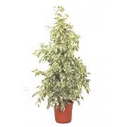 Ficus benjamina piramidal starlight 27/150 cm