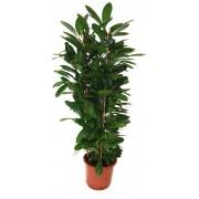 Ficus cyathistipula tufa 3 tulpini 34/130