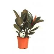 Ficus elastica 3 tulpini 21/65 cm