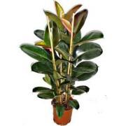 Ficus elastica 3 tulpini 36/135 cm