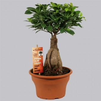 Ficus ginseng bonsai 20/40 cm