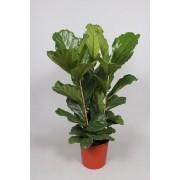 Ficus lyrata tufa 3 tulpini 34/130 cm