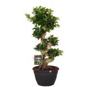 Ficus microcarpa bonsai 35/100 cm