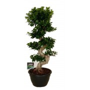 Ficus microcarpa bonsai 50/140