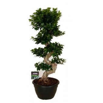 Ficus microcarpa bonsai 50/140
