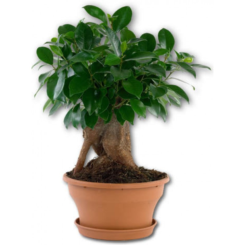 ficus ginseng bonsai 20 40 cm. Black Bedroom Furniture Sets. Home Design Ideas