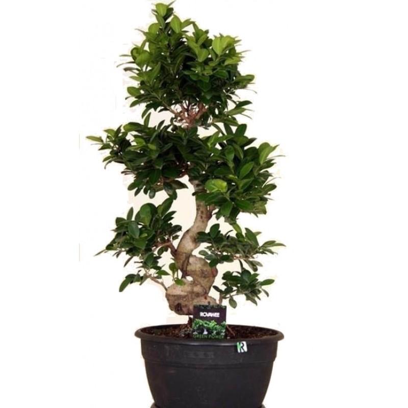 Ficus microcarpa bonsai 30 80 cm for Plante x ragnarok