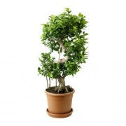 Ficus microcarpa bonsai 40/120