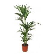 Inchiriere termen scurt planta Howea 140 cm (pentru evenimente)