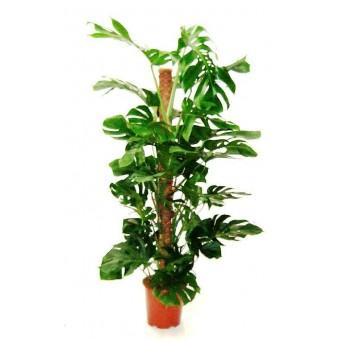 Monstera tutor 27 150 cm for Plante x ragnarok