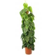 Philodendron scandens / brasil 27/150 cm