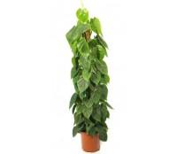 Philodendron scandens brasil 27/150 cm