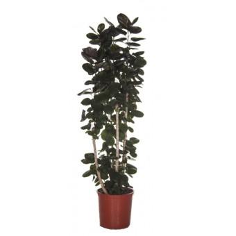 Polyscias fabian 34 180 cm for Plante x ragnarok