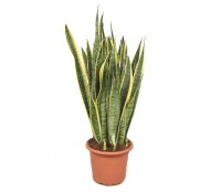 Sansevieria laurentii 24/80 cm