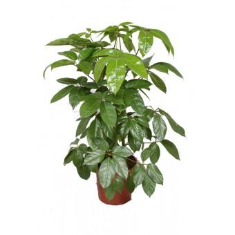 Schefflera amate 30/130 cm