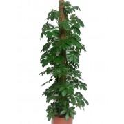 Schefflera compacta tutore 27/180 cm