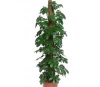 Schefflera compacta 27/150 cm