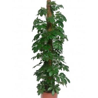 Schefflera compacta tutore 27 150 cm for Plante x ragnarok
