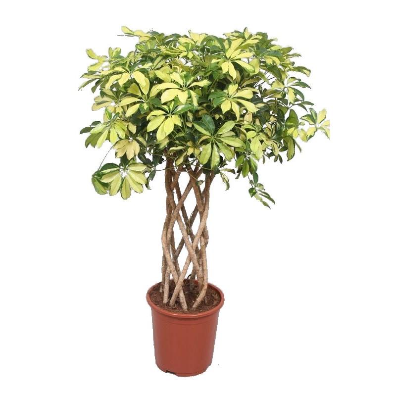 Schefflera gold impletita koker 30 150 cm for Plante x ragnarok