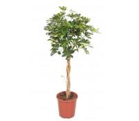 Schefflera impletita 27/130 cm