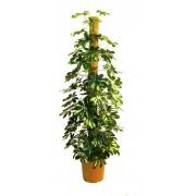 Schefflera gold tutore 27/140 cm