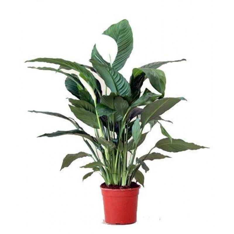 Spathiphyllium 17 40 cm for Plante x ragnarok