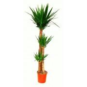 Inchiriere termen scurt planta Yucca 3 tulpini 140 cm (pentru evenimente)