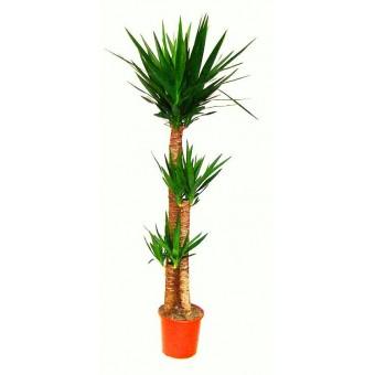 Yucca 3 tulpini 27/140 cm