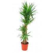Yucca 4 tulpini 32/170 cm
