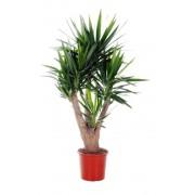 Yucca ramificata 3-4 capete 32/140